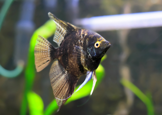 Angel Fish-Black Scalare