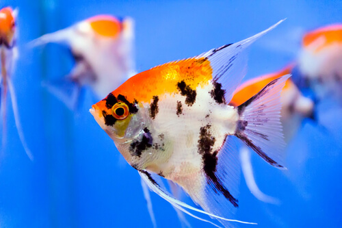 Angelfish-orange