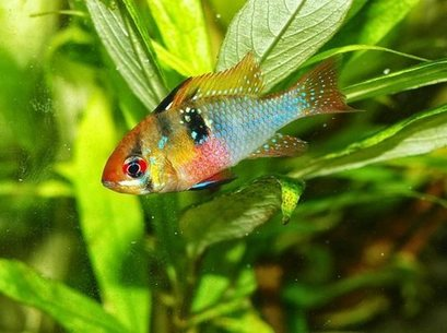 Coloured Cichlid