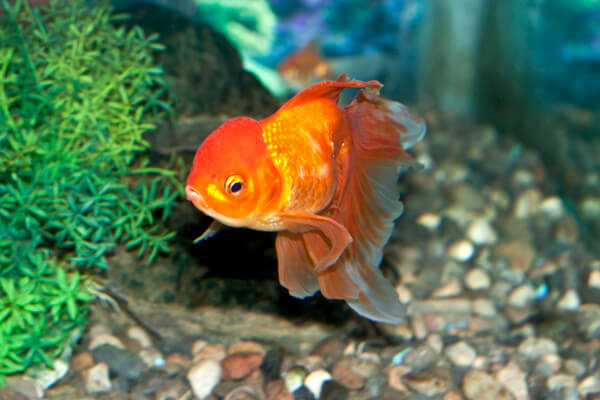 Fancy GoldFish