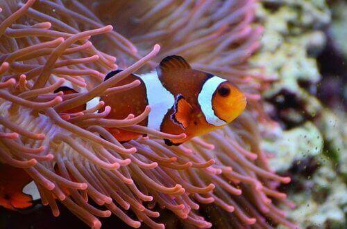 Marine Clown Fish