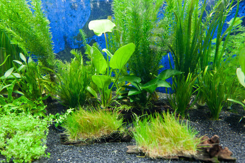 Plants For Tropical Fish