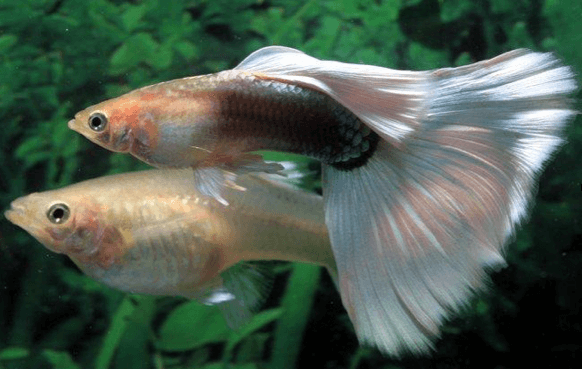 Guppy-Fish-Breeding