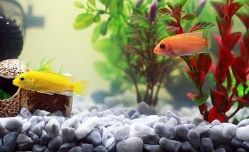 Yellow And Orange Cichlid