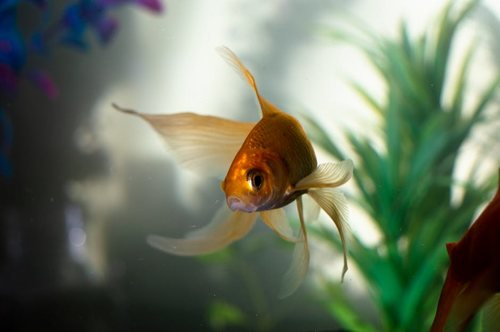 A Healthy Goldfish Swimming In Clear Water
