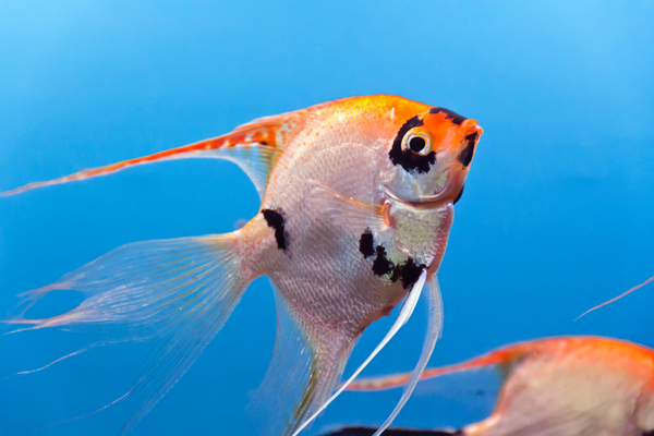 Veil Tail-Angel Fish